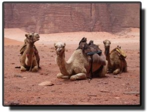 Верблюды в Петре